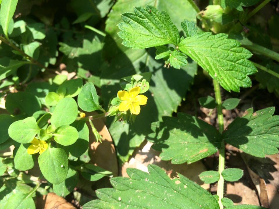 コナスビ花