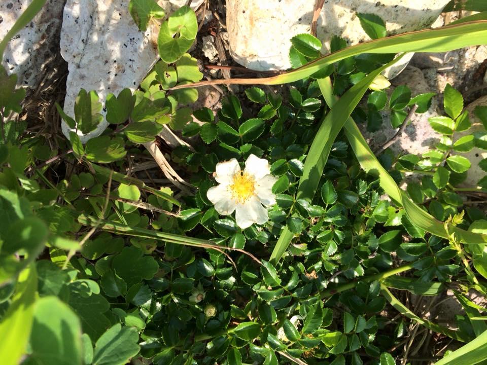 テリハノイバラの花