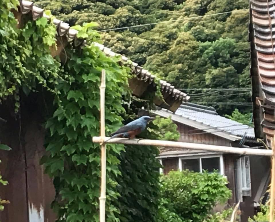 ヒソヒヨドリの巣作り本当に立つ鳥跡を濁さずでした