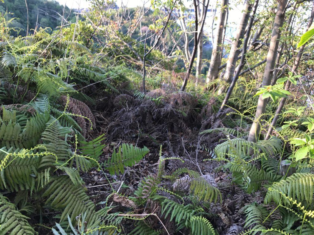 岩美町の自然保護活動中に見つけたイノシシの寝床と鹿の骨