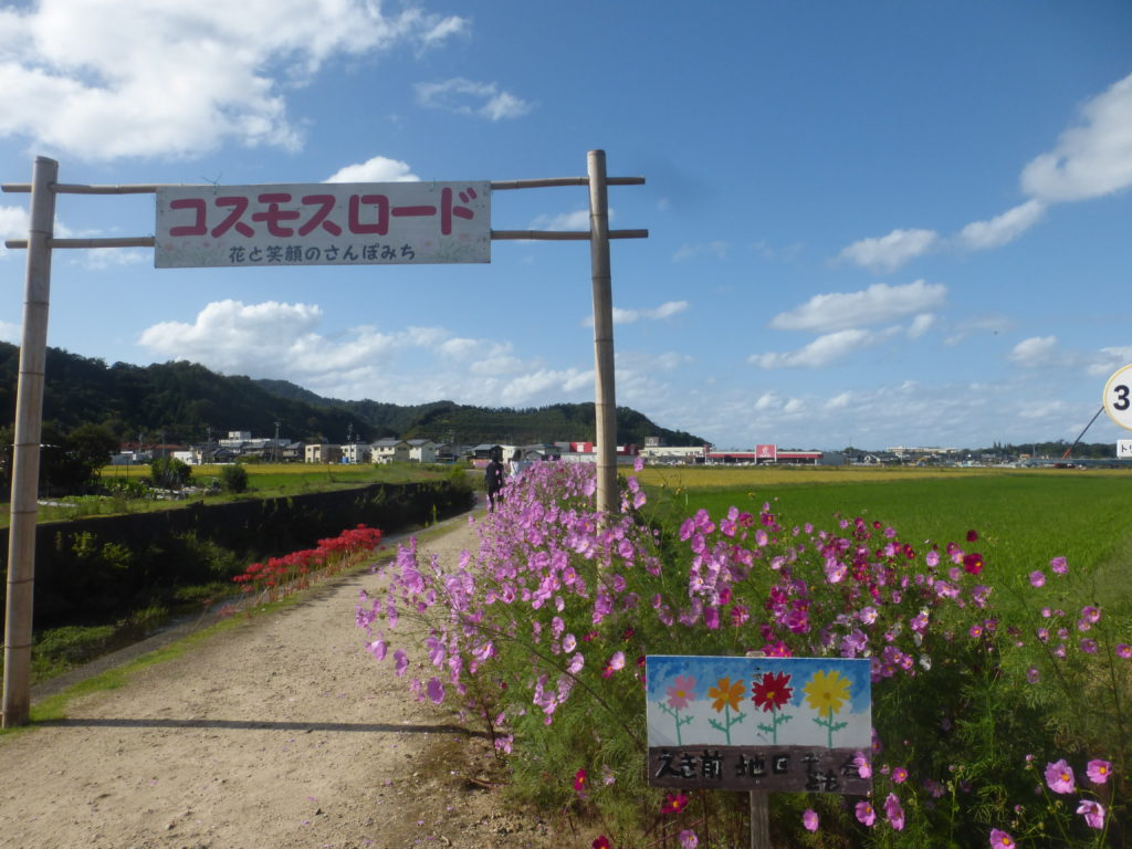 鳥取岩美町・コスモスロードの花が見頃、満開です