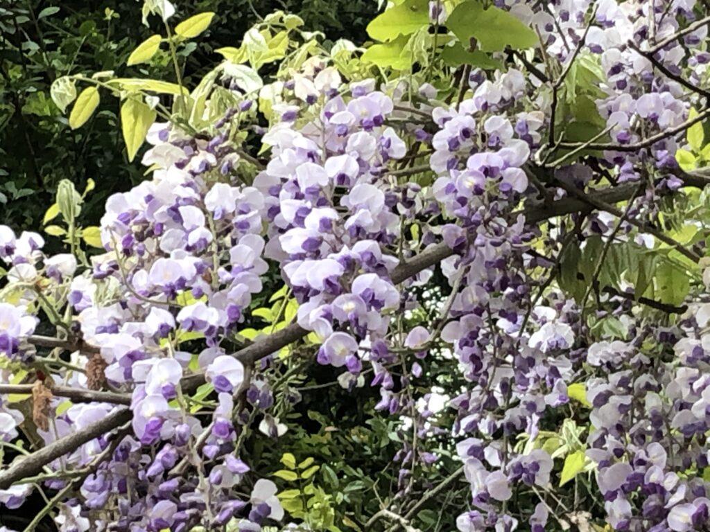 岩美町藤の花