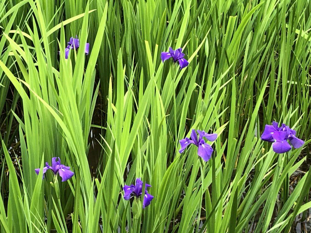 岩美町牧谷カキツバタの花